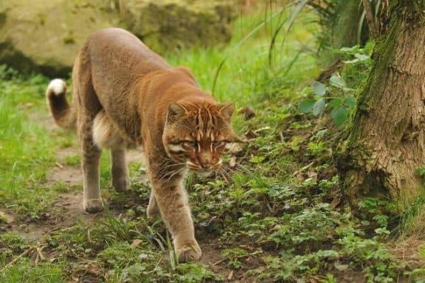 Красивая азиатская золотая кошка