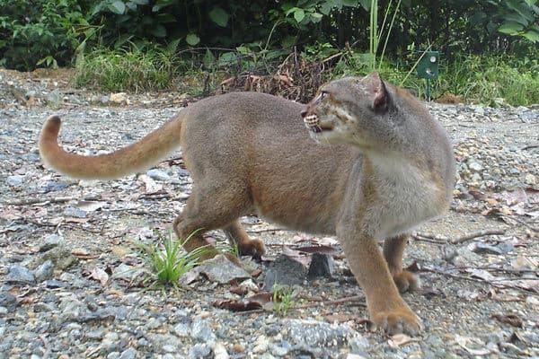 Красивая калимантанская кошка