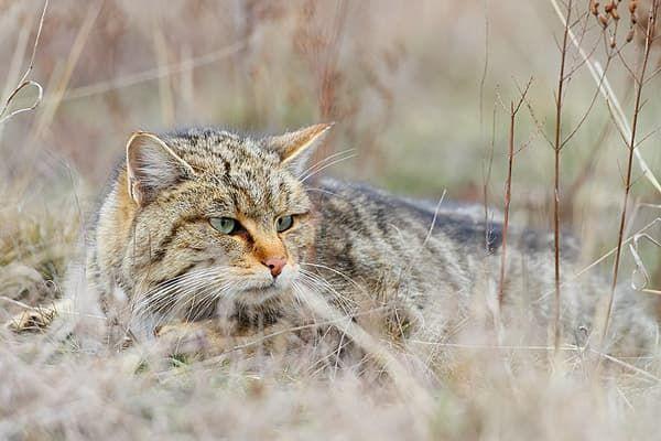 Красивый лесной кот