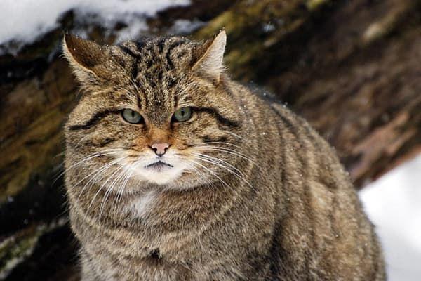 Лесная кошка (лесной кот) читайте статью