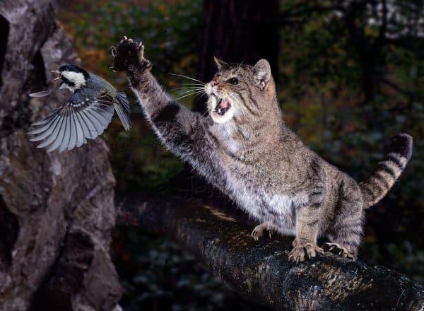 Лесная кошка (лесной кот) описание