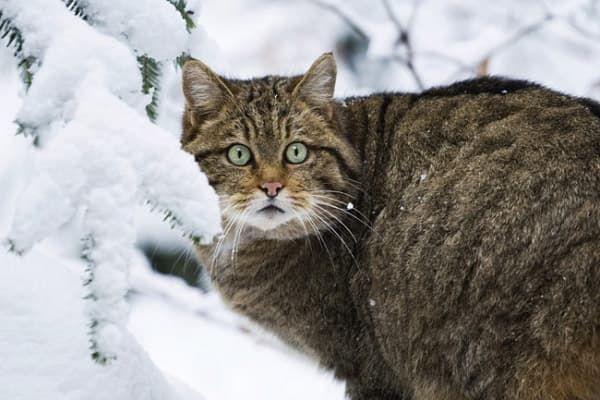 Лесной кот фото