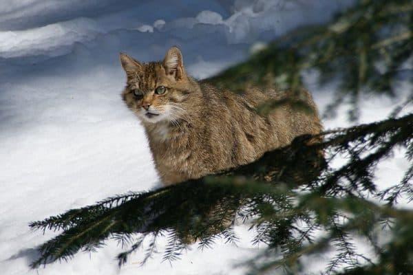 Лесной котик