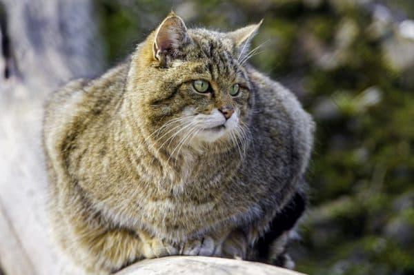Лесной котик фото