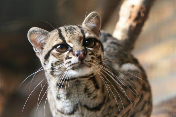 Маргай или длиннохвостая кошка