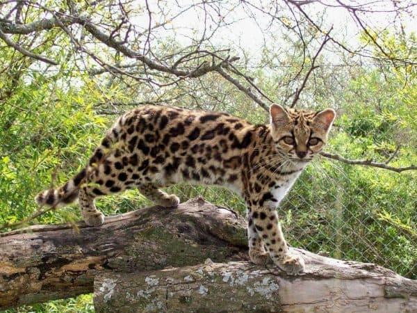 Маргай или длиннохвостая кошка описание