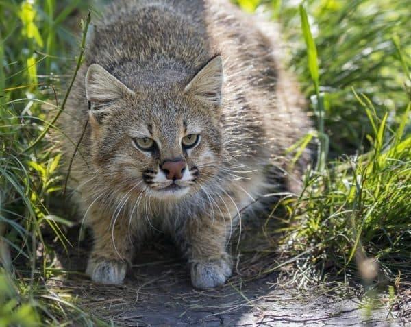 Милая пампасская кошка