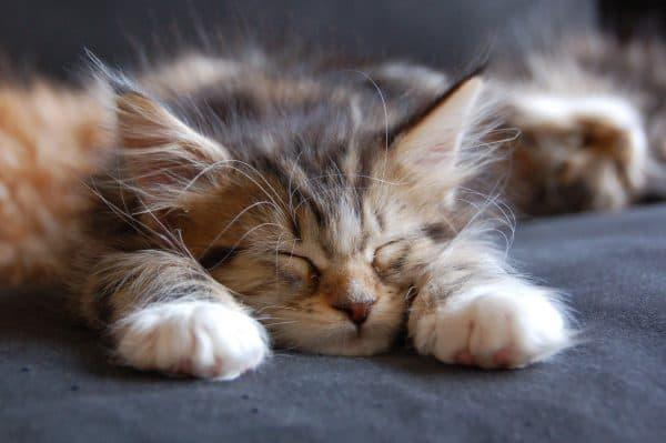 Негативные последствия раннего отлучения котенка от мамы