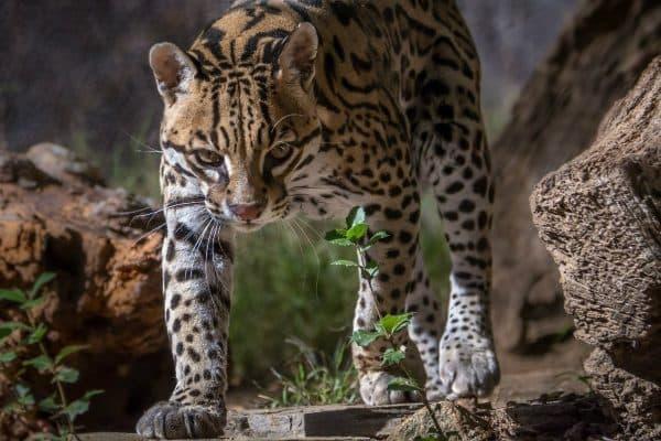 Оцелот - миниатюра леопарда