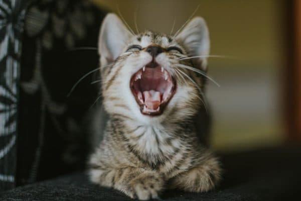 Особенности кормления котенка в период смены зубного ряда