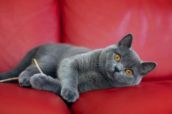 Особенности поведения кошки-британки при случке и возможные нюансы