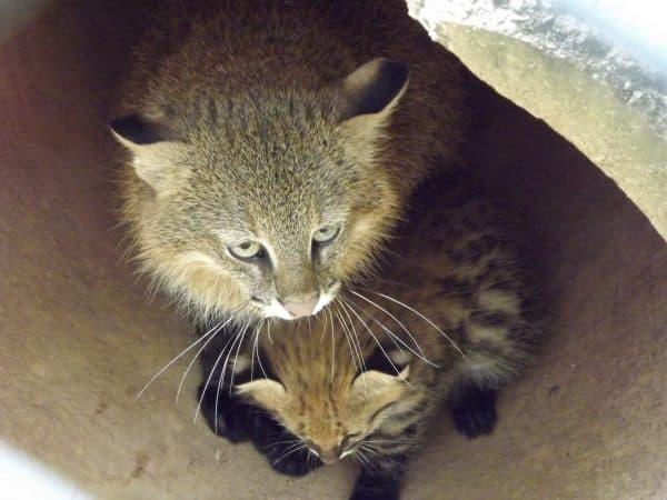 Пампасская кошечка фото
