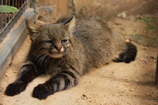 Пампасская кошка читайте статью