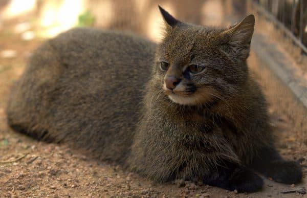 Пампасская кошка фото