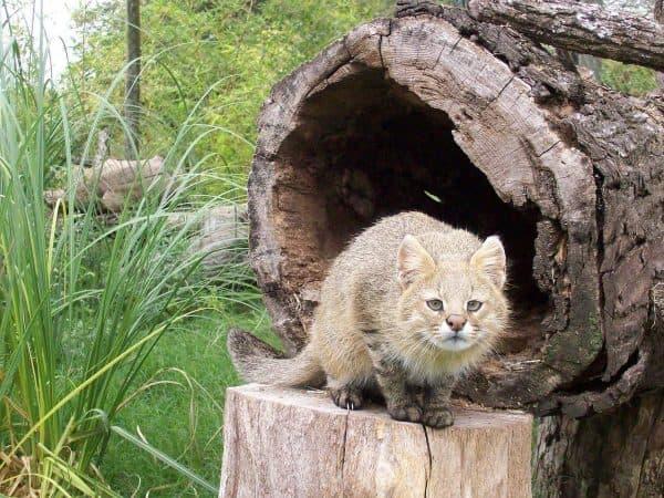 Пампасская кошка красивое фото