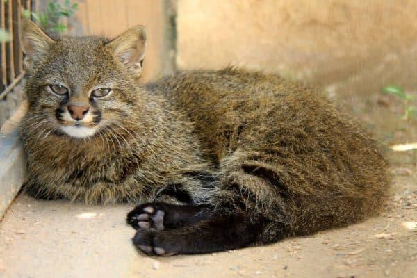 Пампасская кошка описание