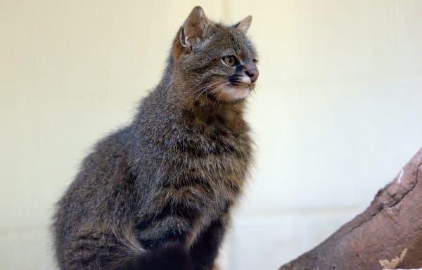 Пампасская кошка. Питание