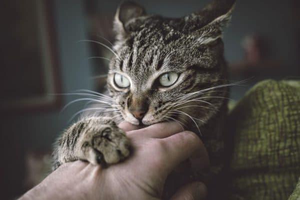 Почему кошка кусается когда ее гладишь читайте статью