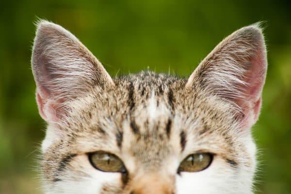 Почему коту нельзя мочить уши