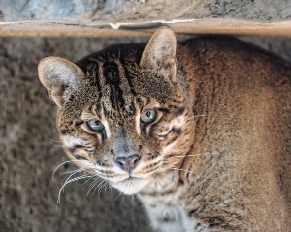 Прекрасная кошка темминка