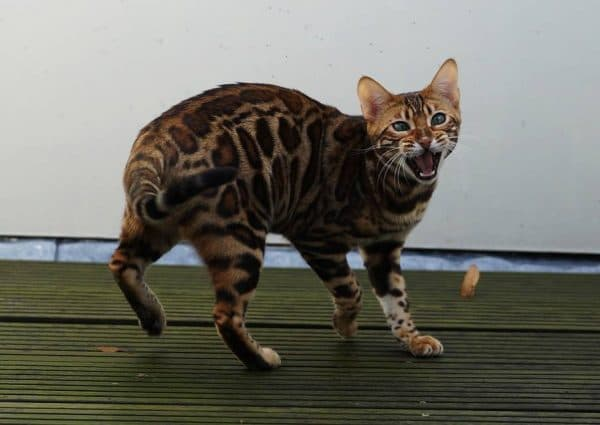 Прекрасная сафари кошка