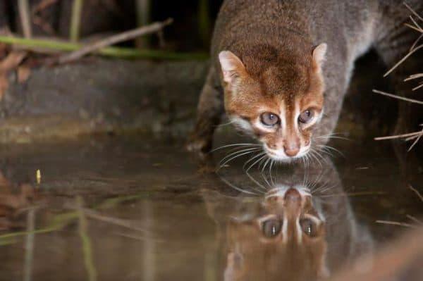 Прекрасная суматранская кошка