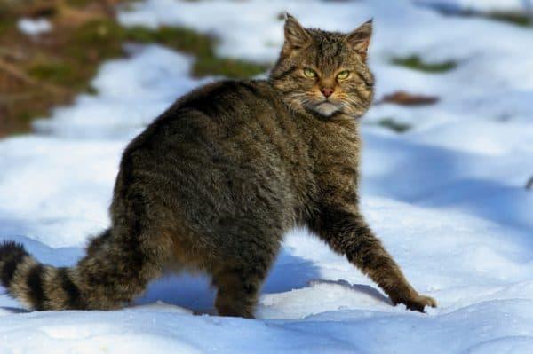 Прекрасный лесной кот