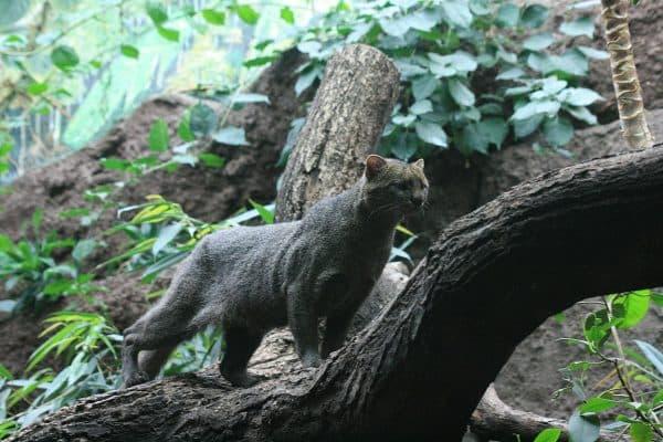 Puma yagouaroundi cacomitli