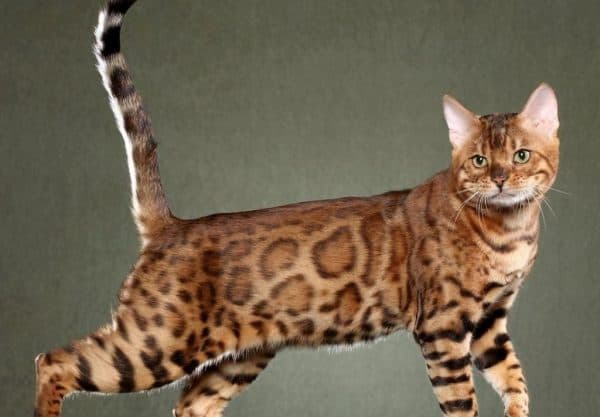 Сафари кошка описание