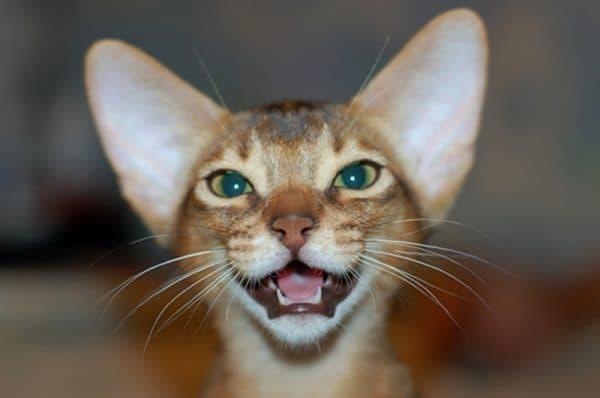 Смена молочных зубов у котят