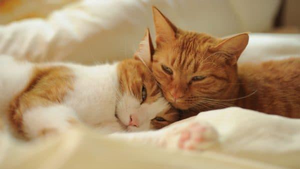 Спаривание кошек и котов