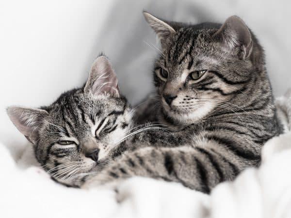 Спаривание кошек и котов. Основные особенности читайте статью