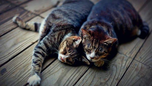 Спаривание кошек и котов. Основные особенности