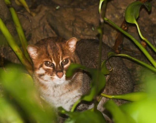 Суматранская кошка читайте статью