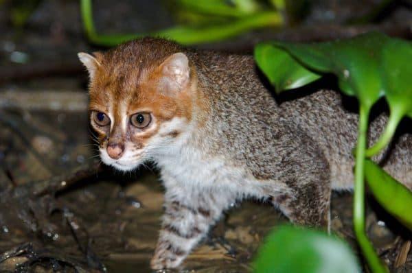 Суматранская кошка фото