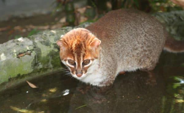 Суматранская кошка красивое фото