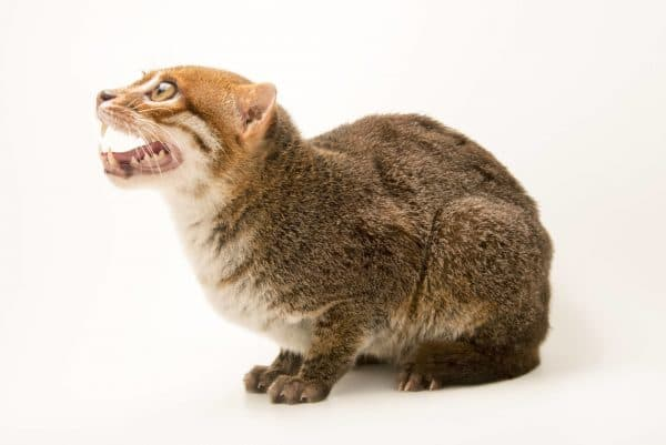 Суматранская кошка. Рацион питания