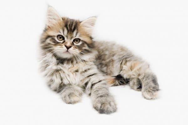 Таблица веса котенка по месяцам читайте статью