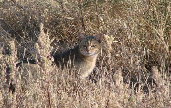Удивительная гобийская серая кошка