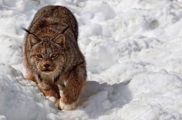 Удивительная канадская рысь