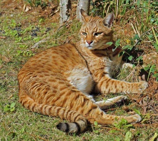 Удивительная сафари кошка