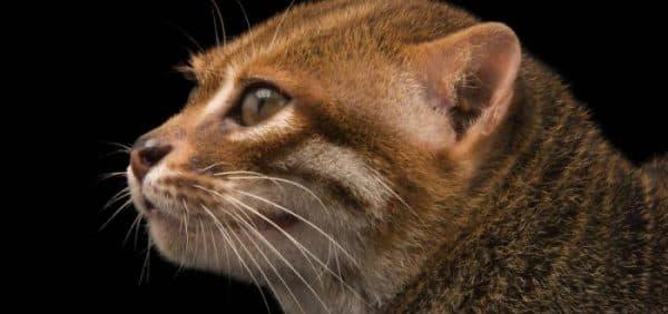 Удивительная суматранская кошка