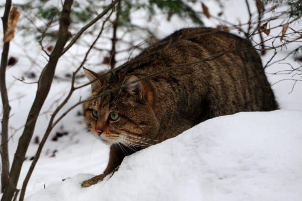 Удивительный лесной кот