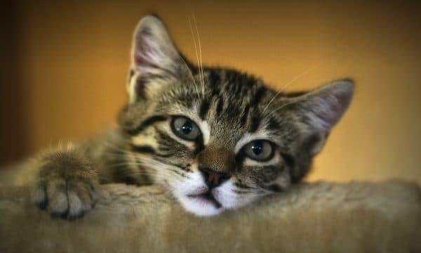 В чем опасность ложной беременности для кошек