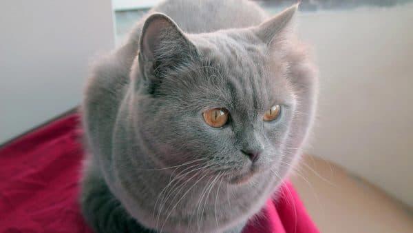 Вязка британских кошек