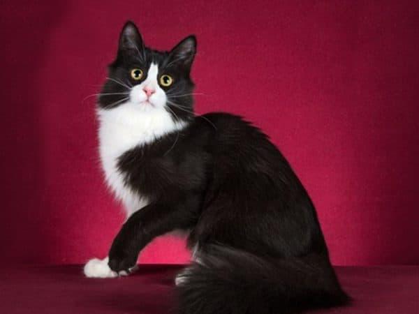 Черно-белая ангорская кошка
