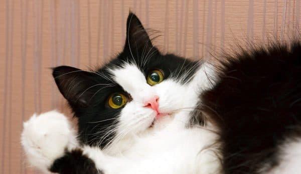 Черно-белая сибирская кошка