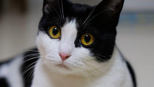 Черно-белые кошки, Различные породы и особенности