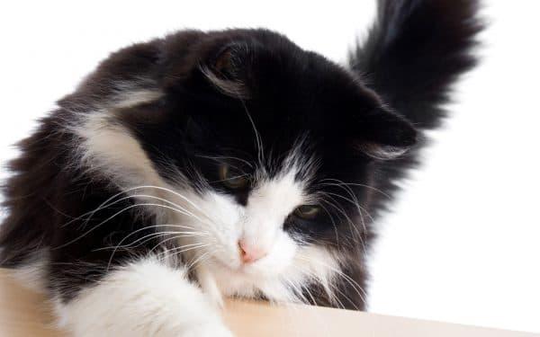 Черно-белые кошки