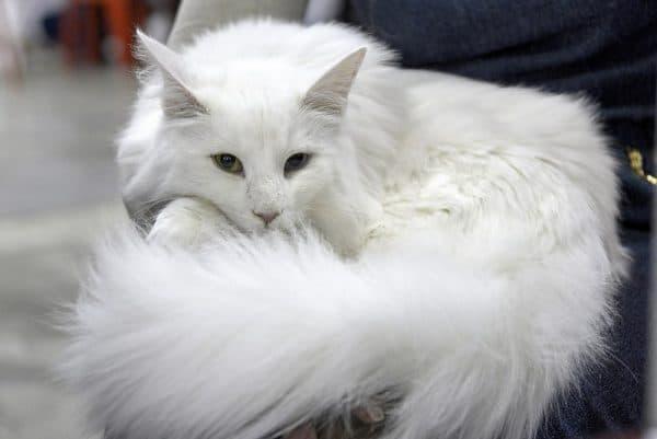 Мейн-кун белый